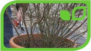 Wie schneide ich eine Heidelbeere im Topf?