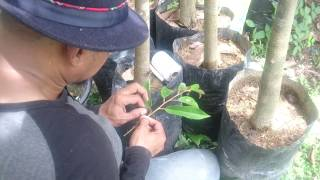 Video Cara Sambung Sisip Pohon Durian ( Oleh Alm.Dr Lutfi Bansir) MP3, 3GP, MP4, WEBM, AVI, FLV Oktober 2018