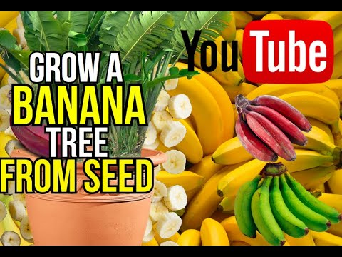 Video how to grow a banana tree from seed download in MP3, 3GP, MP4, WEBM, AVI, FLV January 2017