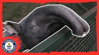 Kingut: The oldest tapir in the world! - Guinness World Records