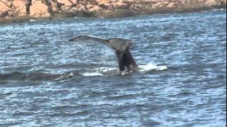 Saint-Laurent (QC) Canada  city photos gallery : Baleines Folles dans le Parc Marin Saguenay St-Laurent, Tadoussac,Québec, Canada