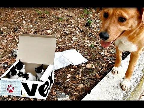 Gallant Dog Leads His Human to a Box of Abandoned Kittens Whom He Now