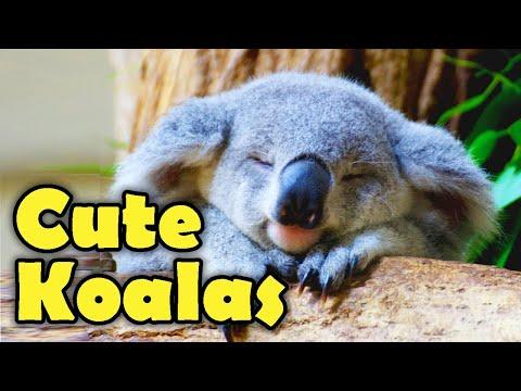 KOALAS - THE MOST CUTE ANIMALS IN 2020 #SaveTheKoala