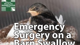 Barn Swallow Surgery