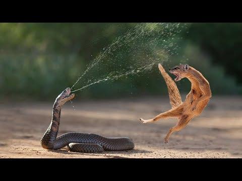7 Batalhas de animais gravadas em vídeo 4