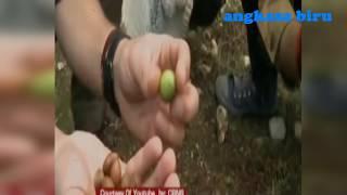 Download Video Perhatikan apa yang digiling warga, buah argan yang telah dimakan kambing MP3 3GP MP4