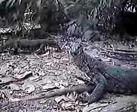 Bold Beautiful Monitor Lizards Enjoying Their Environment