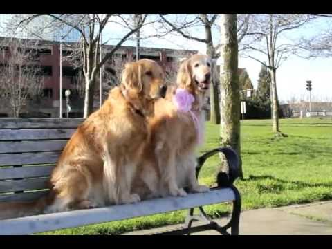 una storia d'amore tra golden retriever
