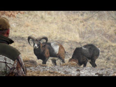 4 Jagdfreunde 3 Muffelwidder   4 hunting friends, 3 mouflon rams   ep # 24