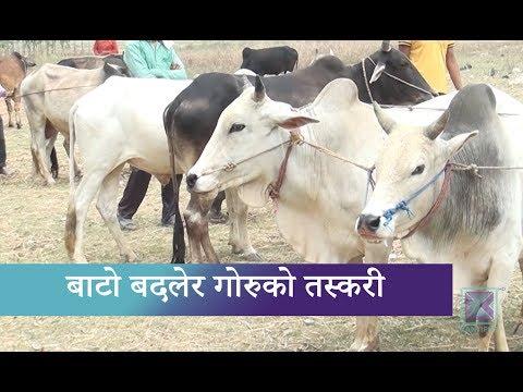 (Kantipur Samachar | गोरु तस्करी ! - Duration: 2 minutes, 11 seconds.)