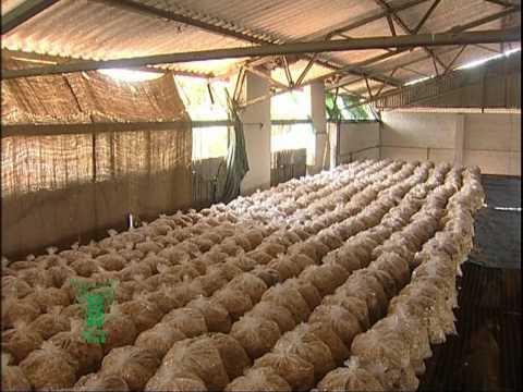 mushroom cultivation -