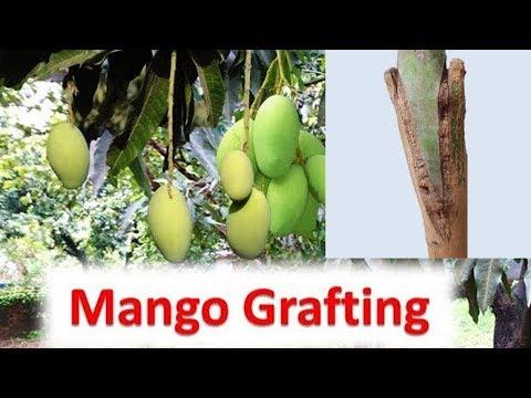 Mango Grafting: दशहरी, आम्रपाली और लंगड़ा के फल एक हीं पेड़ से/ Multiple variety mango from one plant