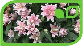 Lilien, der heimliche Grund an die Chelsea Flower Show zu kommen