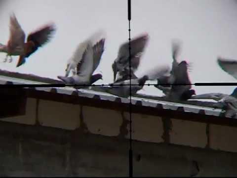 Pigeon Hunting 1