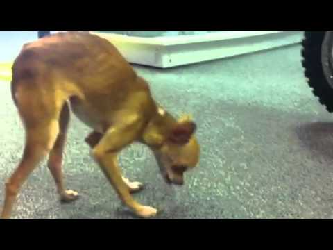 """Chihuahua """"The Face"""" Eating Okra while Doing Downward Dog"""