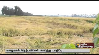 Paddy and crops damaged in continuous rain in Gobichettipalayam