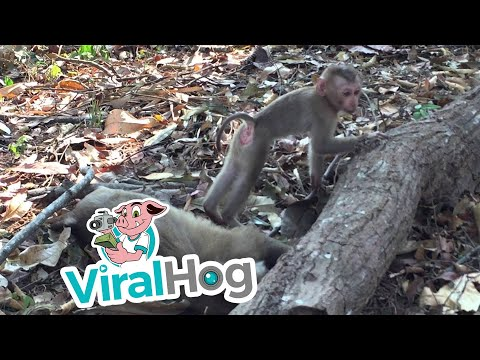 Baby Monkey Mourns The Loss Of His Mother (видео)