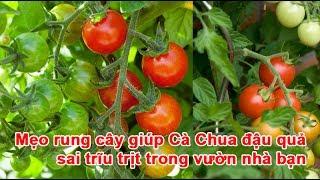 Mẹo rung cây giúp Cà Chua đậu quả sai trĩu trịt trong vườn nhà bạnrung cây cà chua, cách thụ phấn cho cà chua, thụ phấn cà chua, cà chua ra hoa, cách trồng cà chua, cà chuaTheo vnexpress.net