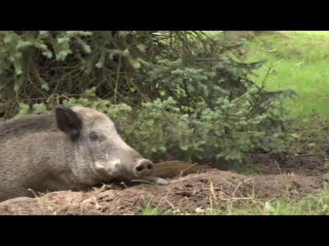 Danzig: Wildschweine machen es sich zwischen Wohnblock ...