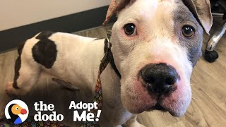 Skinny Abandoned Pittie Gets So Big And Handsome   The Dodo Adopt Me! by The Dodo
