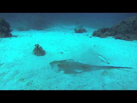 Vörös tenger safari 2013 rája