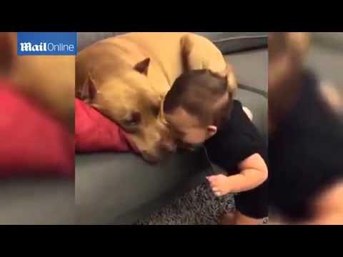 Малыш подошел к спящему питбулю и поцеловал его. Реакция собаки — это нечто!