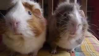 Subscribe to TDS here: http://bit.ly/TDSsubscribe Two guinea pigs discuss America's biggest fall obsession: pumpkin spice lattes.