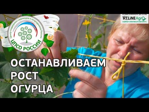Когда и как провести прищипывание верхушки огурца. Формирование растений огурца.