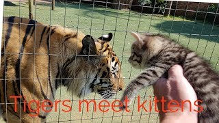 Video Tigers reaction to the kittens MP3, 3GP, MP4, WEBM, AVI, FLV Agustus 2018