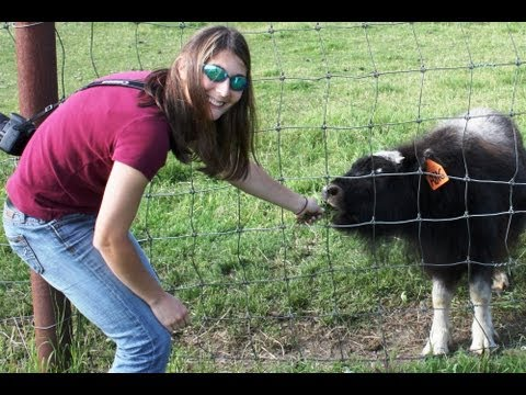 briczar22 - FEEDING MUSK OX and REINDEER! Safari Alaska 9. Final Episode. What is more fun than trying to get an animal to eat grass? (Only if it is approved to do so) M...