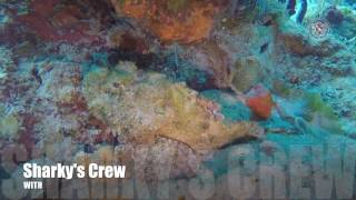 Spotted Scorpion and Banded Coral shrimp
