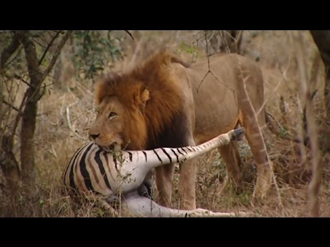 Lions Documentary - 'THE KINGS OF THE AFRICAN JUNGLE'