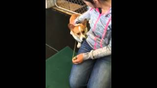 Bob the Corgi Interviews