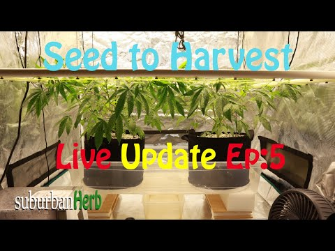 Gorilla Glue #4 cannabis grow. Seed to harvest: ep. 5. lst with a scrog. Mars Hydro Cup