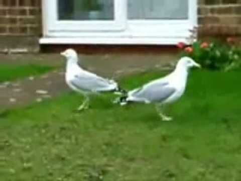 Crazy Seagulls Dancing