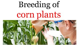 Breeding of corn plants