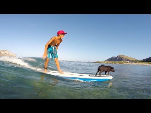 Conoce a 'Kama 2', el cerdito que surfea y cautiva en redes