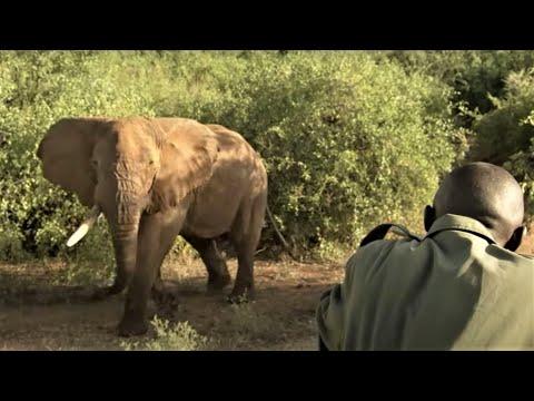 Collaring A Massive Bull Elephant | Secret Life Of Elephants  | BBC Earth