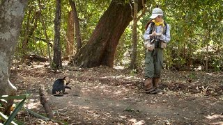 Braving floods, fires and swarms of vampire mosquitoes, UCLA Professor Susan Perry has spent 25 years chasing capuchin...