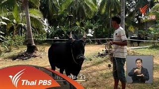 เปิดบ้าน Thai PBS - แนวคิดของผู้ผลิตสารคดี ที่นี่บ้านเรา ตอน คน ชน วัว
