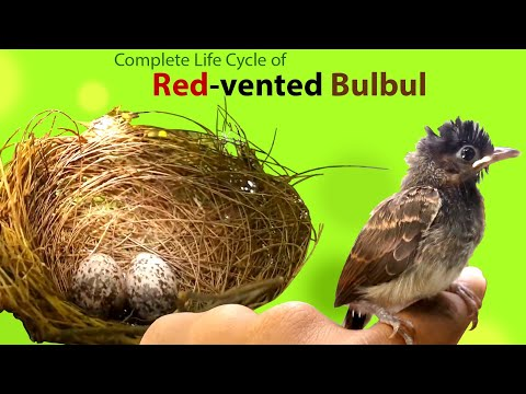 Video Life cycle of Red vented bulbul download in MP3, 3GP, MP4, WEBM, AVI, FLV January 2017