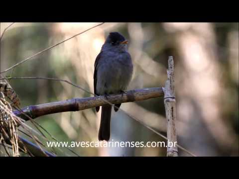 Papa-moscas-cinzento - Cristiano Voitina