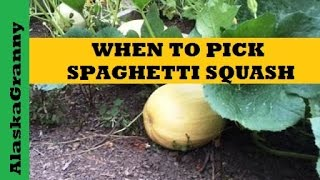 When is spaghetti squash ready to pick or harvest?  Use Garden Pruners  http://amzn.to/2iNqgfq to cut squash from the vine.  Spaghetti squash is a winter squash.  The color of spaghetti squash will change from creamy off-white to dark, golden yellow.  Scratch the rind with your fingernail.  It should be hard and firm.  Harvest spaghetti squash by cutting the stem with garden shears or pruners to avoid damaging the squash.  Choose squash that are firm and smooth, uniformly yellow and free of soft spots.  Unripe squash spoil quickly.  Spaghetti squash is a winter squash and should be harvested in the early fall. Spaghetti squash keeps for months stored in a cool, dry place.  Cut Spaghetti Squash lasts a week in the refrigerator. ★☆★ SUBSCRIBE TO ME ON YOUTUBE: ★☆★https://www.youtube.com/c/alaskagranny?sub_confirmation=1 ★☆★ FOLLOW ME BELOW: ★☆★Blog: http://www.alaskagranny.com/gardening/★☆★ RECOMMENDED RESOURCES: ★☆★Garden Pruners  http://amzn.to/2iNqgfqWhite Vinegar http://amzn.to/2dVsfN7