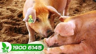 Chăn nuôi lợn | Cách khống chế bệnh