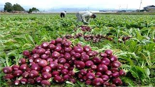 Asian Radish Harvesting Modern Machine - Amazing Japan Agriculture Farm - Radish Processing