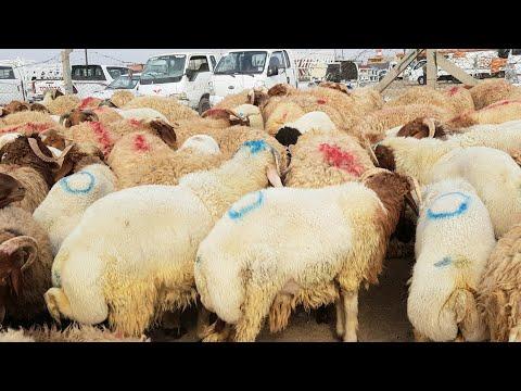 #بورصة أسواق المواشي في العراق ليوم الاثنين 2020/8/31 سوق محافظة ديالى تعد السوق المركزية للعراق ح2