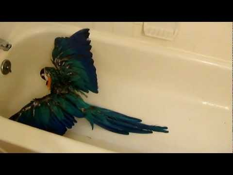 Funny Video 3D Macaw Bathing and talking like a turkey.