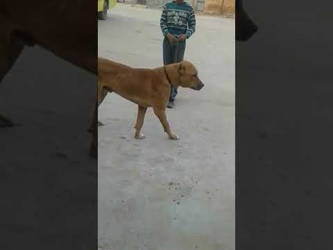 Video Jageraa kill desi breed download in MP3, 3GP, MP4, WEBM, AVI, FLV January 2017