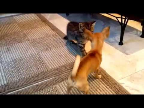 Teacup Chihuahua & kitten playing