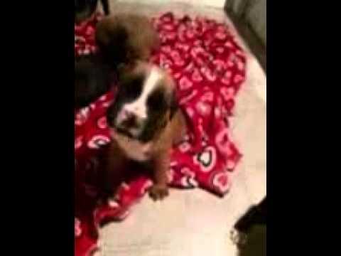 cmzs boxers puppies